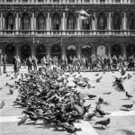 Pigeons. Venice, Italy